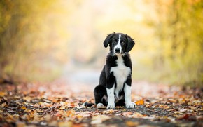 Picture road, autumn, forest, look, nature, pose, Park, background, black and white, foliage, dog, baby, puppy, ...
