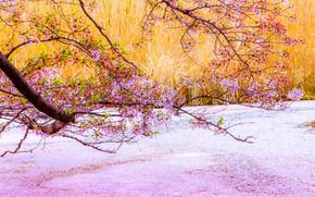 Picture flowers, branches, spring, Sakura, pink, flowering, pond