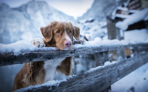 Picture winter, sadness, snow, mountains, animal, the fence, dog, the fence, dog, Retriever