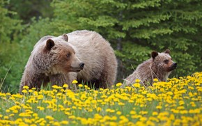 Picture flowers, bears, bear, cub, dandelions, grizzly, bear