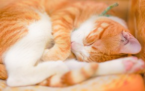 Picture cat, cat, sleep, red, sleeping, lies, curled up