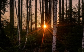 Picture forest, the sun, rays, light, sunset, birch