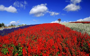 Picture field, summer, the sky, clouds, flowers, blue, hill, meadow, Asia, red, blue, a lot, different, …