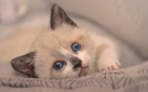Picture look, baby, muzzle, kitty, blue eyes