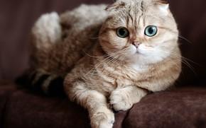 Picture cat, green eyes, shotlandskaya fold