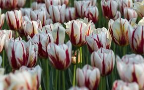 Picture Park, Canada, tulips, Ottawa, 'Maple Leaf'