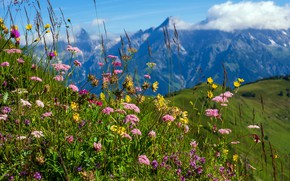 Picture summer, flowers, mountains, nature, tops, spring, meadow, field, different, blooming