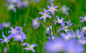 Picture flowers, spring, blue, primroses, bokeh, hionodoksa