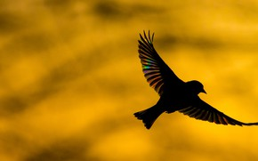 Picture bird, wings, silhouette, common zelenushka