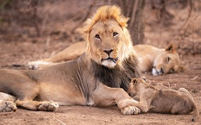 Picture face, pose, Leo, baby, family, hairstyle, lies, lions, lioness, lion, husband-wife-child-a classic of the genre, …