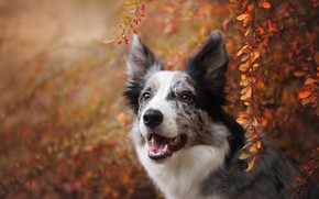 Picture autumn, look, face, leaves, branches, nature, berries, background, foliage, portrait, dog, fruit, the border collie, …