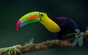 Picture background, bird, branch, beak, Toucan, Iridescent Toucan