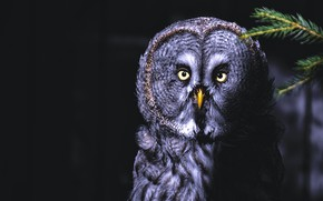 Picture look, the dark background, owl, bird, portrait, black background, owl