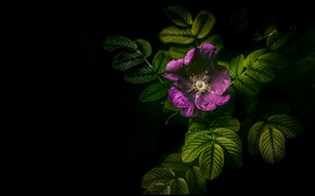 Picture flower, leaves, lilac, briar, black background