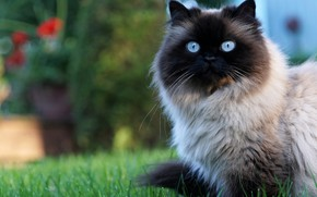 Picture cat, summer, grass, cat, look, portrait, garden, muzzle, sitting, blue-eyed, fluffy, Siamese, color-point, ragdoll