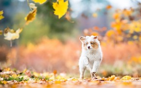 Picture autumn, look, leaves, nature, dog, baby, running, puppy, walk, falling leaves, Australian shepherd, Aussie