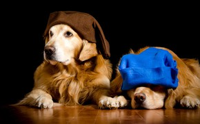 Picture dogs, blue, two, portrait, dog, pair, dwarves, image, caps, black background, two, a couple, brown, …