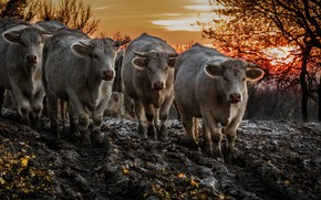 Picture sunset, dirt, cattle