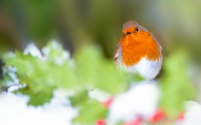 Picture winter, leaves, snow, background, bird, orange, blur, fruit, bird, bokeh, Robin