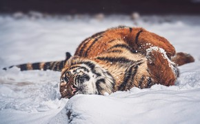 Picture winter, snow, tiger, pose, lies