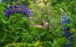 Picture flowers, bird, Hummingbird, bird, lupins