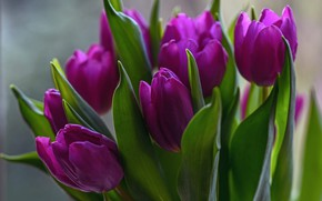Picture leaves, flowers, bright, bouquet, spring, purple, tulips, buds, lilac