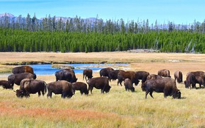 Picture nature, the herd, Buffalo