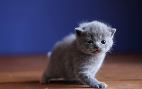 Picture baby, muzzle, kitty, blue background, British