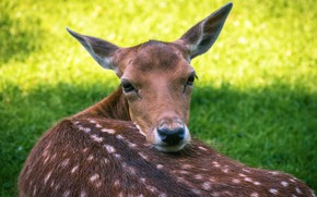 Picture grass, look, deer, fawn, white-tailed