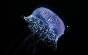Picture sea, water, macro, Medusa, hairs, transparent, tentacles, black background, underwater world, under water, sea creature, …