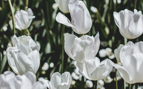 Picture Nature, Flower, Tulips