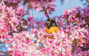 Picture light, flowers, branches, bird, spring, pink, flowering, yellow
