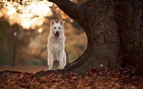 Picture autumn, tree, dog, bokeh, fallen leaves, The white Swiss shepherd dog