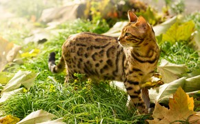 Picture in the grass, maple leaves, Bengal cat