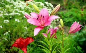 Picture photo, Flowers, Pink, Lily