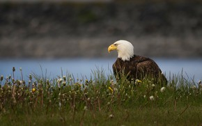 Picture grass, look, flowers, nature, pose, river, background, bird, eagle, shore, profile, dandelions, sitting, pond, bald …