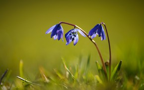 Picture grass, flowers, purple, green background, lilac, stem, Scilla