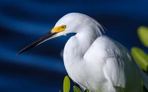 Picture white American egret, beak, bird