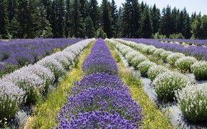 Picture field, the ranks, lavender