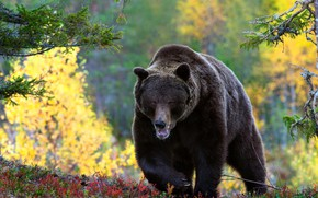 Picture forest, look, bear, walk, brown
