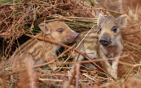 Picture hay, pair, straw, boar, kids, a couple, two, cubs, hog, pigs, boars, hog, pigs, the ...