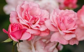 Picture macro, flowers, Bush, roses
