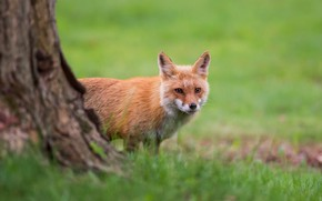 Picture greens, grass, look, tree, Fox