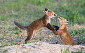 Picture the game, pair, two, Fox, Fox, cubs, two Fox