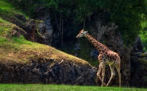 Picture greens, trees, nature, the dark background, stones, rocks, giraffe, walk