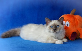 Picture look, pose, kitty, toy, orange, muzzle, fabric, lies, pumpkin, kitty, blue background, posing, smiley, blue-eyed, …