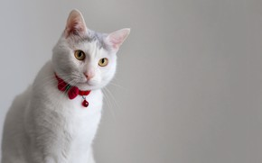 Picture white, cat, look, muzzle
