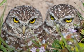 Picture birds, pair, owls, owls