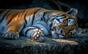 Picture look, face, tiger, pose, the dark background, stay, stone, paws, lies