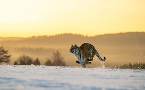 Picture winter, field, forest, cat, light, snow, nature, tiger, pose, jump, hills, running, wild, rushing